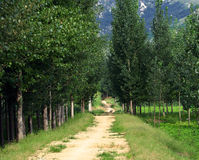 Poplar tree lined path Stock Image
