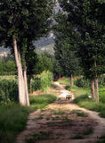 Poplar tree lined path Royalty Free Stock Images