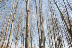 Poplar tree Royalty Free Stock Photo