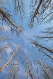 Poplar tree Stock Images