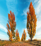 Poplar tree with road at fall Royalty Free Stock Photography
