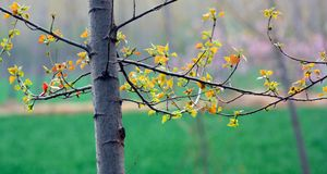 Poplar tree in spring Stock Image