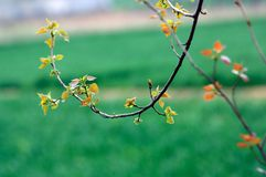 Poplar tree in spring Stock Images