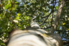 Poplar Tree From Below in the Sunset Royalty Free Stock Image