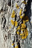 Poplar tree trunk bark with yellow moss, vertical background texture close up. Detail royalty free stock photography