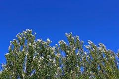 Poplar tree under blue sky Stock Photo