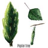 Poplar tree. stock illustration