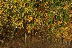 Poplar trees. Autumn Poplar trees. Poplar in the Upright Royalty Free Stock Images