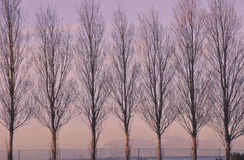 Poplar trees Royalty Free Stock Images