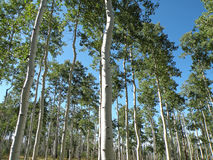 Poplar trees. In Dixie national forest in Utah Royalty Free Stock Images