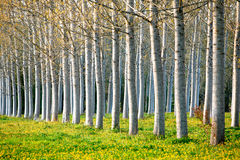 Poplar trees. Royalty Free Stock Photography