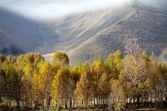 Poplar trees Royalty Free Stock Photos