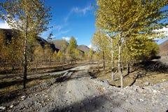 Poplar trees Stock Photography