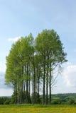 Poplar Trees Stock Image