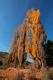 Poplar trees Stock Images
