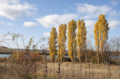 Poplar trees in autumn - RAW format Royalty Free Stock Images