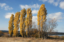 Poplar trees in autumn - RAW format Royalty Free Stock Photos