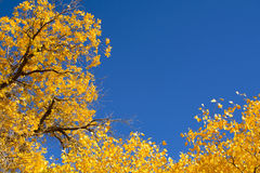 Poplar trees in autumn season Stock Photography