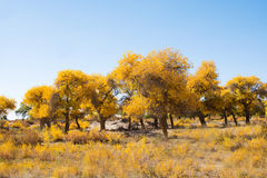 Poplar trees in autumn season Royalty Free Stock Photography