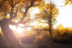 Poplar trees in autumn season Stock Images