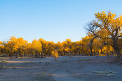 Poplar trees in autumn season Royalty Free Stock Image