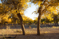Poplar trees in autumn season Stock Image