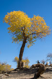 Poplar trees in autumn season Royalty Free Stock Image