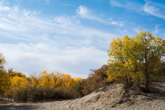 Poplar trees in autumn season with yellow leaves and white cloud Stock Image