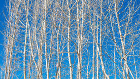 Poplar Trees on Blue sky background Royalty Free Stock Photo