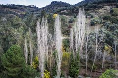 Poplar trees are centered in the valley Stock Photos