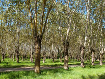 Poplar trees Stock Photography