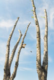Poplar trees with cut branches Royalty Free Stock Photo