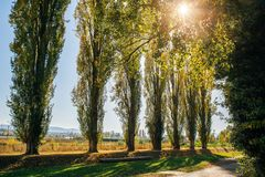 Poplar trees during fall. Poplar trees turning yellow in autumn Stock Images