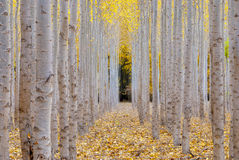 Poplar trees on a farm in the Fall Season Royalty Free Stock Image