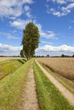 Poplar trees and farm track Royalty Free Stock Photography