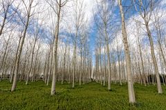 Poplar trees forest in cold winter Royalty Free Stock Images
