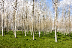 Poplar trees forest in cold winter day Royalty Free Stock Images