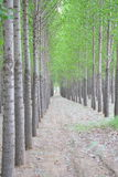 Poplar Trees Royalty Free Stock Photos