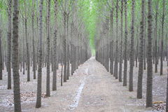 Poplar Trees Royalty Free Stock Image
