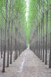 Poplar Trees Stock Photos