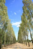 Poplar trees, grove, France Royalty Free Stock Photo