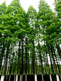 Poplar trees. The image shows poplar trees from a bottom view Royalty Free Stock Photos