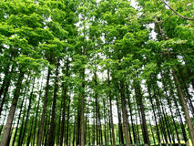 Poplar trees. The image shows poplar trees from a bottom view Stock Photos