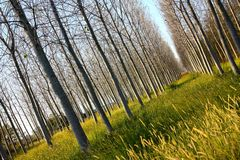 Poplar trees in Italy royalty free stock images