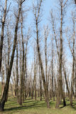 Poplar trees without leaves in the spring Royalty Free Stock Photography