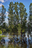 Poplar trees and meadow flooded with water from the river Royalty Free Stock Image