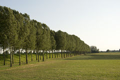 Poplar trees and meadow Royalty Free Stock Images