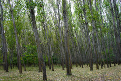 poplar trees Stock Images