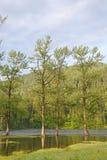 Poplar trees Stock Photos