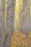 Poplar trees in rows on an autumn farm Stock Images
